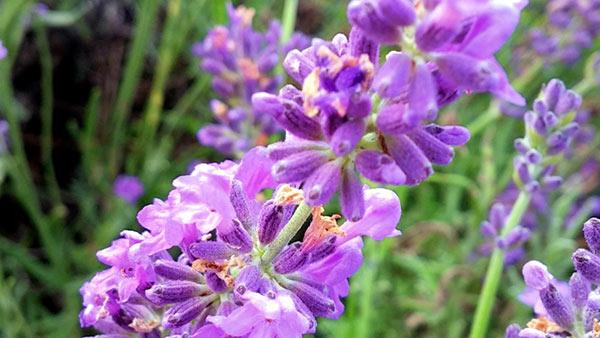 bleu-lavande-fresh-lavender