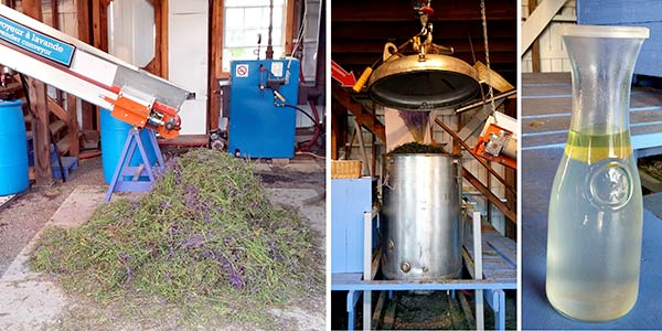bleu-lavande-lavender-extraction